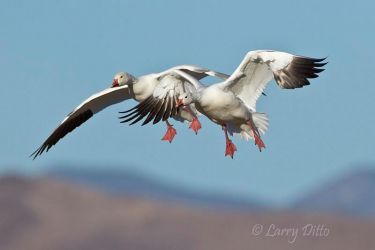 Snow_Geese_Larry_Ditto_MG_5716