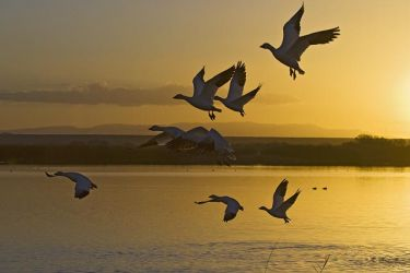 Snow geese at sunrise, New Mexico