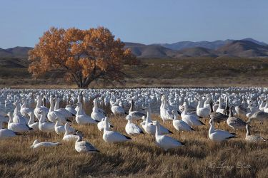 Snow_Geese_Loafing_MG_4709