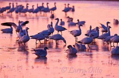 Snow Geese (Chen caerulescens) standing on ice, New Mexico, November, sunrise