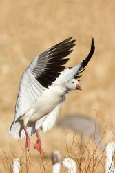 Snow_Goose_Larry_Ditto_MG_3802