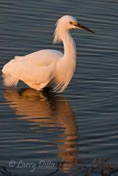 Snowy Egret (Egretta thula) fishing at sunset, s. Texas