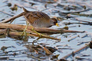 Sora hunting in freshwater marsh, Port Aransas, Texas