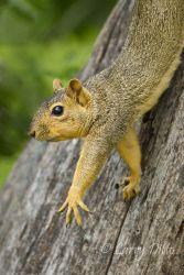 Fox Squirrel stretching