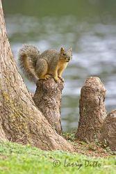 Squirrel,_Eastern_Fox_X0Z7124