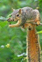 Squirrel,_Eastern_Fox_lrd037