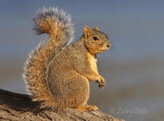 Squirrel,_Fox_70K4380