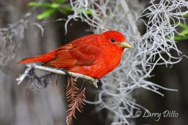 male Summer Tanager in Spanish moss, Caddo Lake, Texas