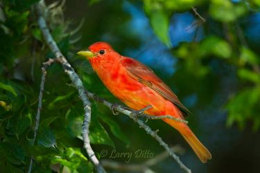 Summer_Tanager_Larry_Ditto_MG_2778~0