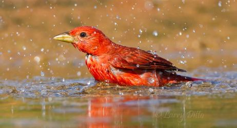 Summer_Tanager_Larry_Ditto_MG_5197