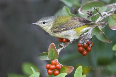 Tennessee Warbler in fiddlewood, South Padre Island, Texas