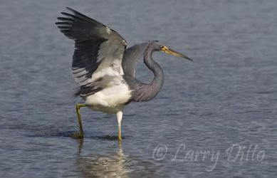 Tricolored_Heron_Larry_Ditto_70K6088