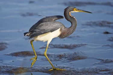 Tricolored_Heron_Larry_Ditto_70K8559
