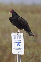 Turkey Vulture on refuge boundary sign