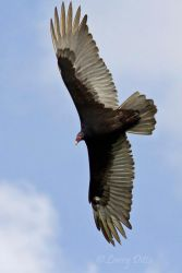 Turkey_Vulture_Larry_Ditto_MG_5630