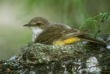 Vermilion Flycatcher on nest
