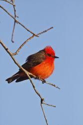 Male Vermilion Flycatcher, McClelland Ranch, Junction, Texas