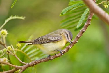 Warbling_Vireo_Larry_Ditto_70K2274