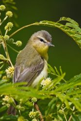 Warbling_Vireo_Larry_Ditto_70K2543