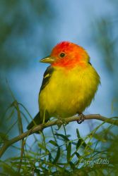 Western_Tanager_MG_4587