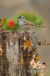 White-crowned Sparrow on stump, December, Texas