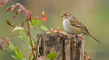 White-crowned sparrow, juvenile on a stump, Texas, winter