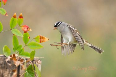 White-crowned_Sparrow_Larry_Ditto_MG_7299