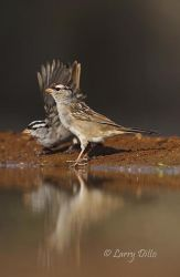 White-crowned Sparrows drinking at ranch pond