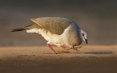 White-fronted Dove in courtship posture