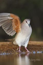 White-tipped Dove flapping wings