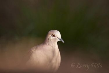 White-fronted Dove (Leptotila verreauxi) feeding in late afternoon, s. Texas