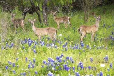 White-tailed-Deer_Larry_Ditto