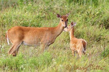 White-tailed Deer (Odocoileus virginianus) doe and fawn, Texas coast