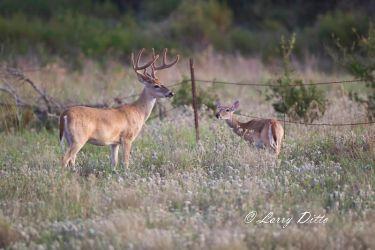 White-tailed_Deer_51U7263