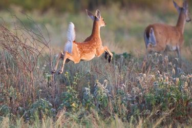 white-tailed deer, fawn jumping, Texas