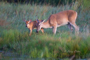 White-tailed Deer  (Odocoileus virgininaus) doe and fawn drinking