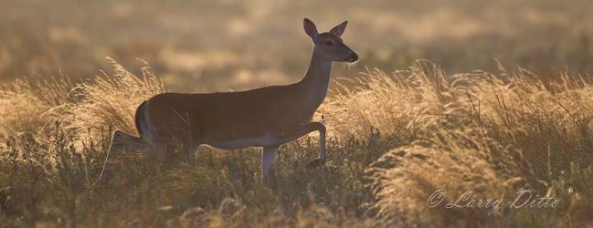 White-tailed Deer, doe in grass at sunrise