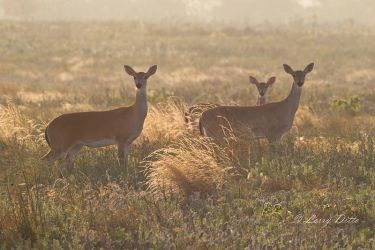 White-tailed_Deer_51U7530