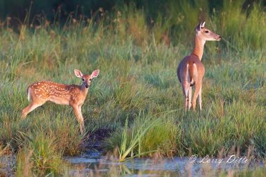 white-tailed deer doe and fawn drinking