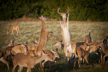 white-tailed deer feeding and fighting