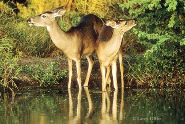 White-tailed_Deer_Drinking_Larry_Ditto
