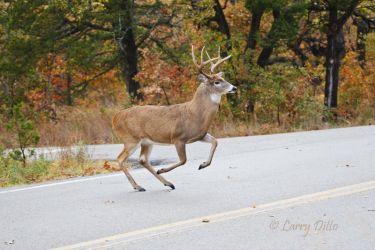 White-tailed Deer crossing