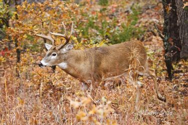 white-tailed deer, buck in autumn