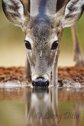 White-tailed Deer drinking at s. Texas ranch pond