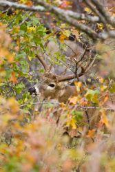 white-tailed deer, Oklahoma