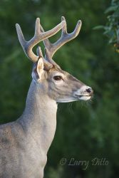 White-tailed_Deer_Larry_Ditto_MG_2332