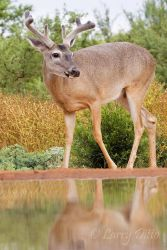 white-tailed deer at Beto's pond