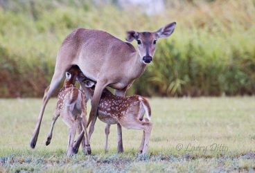 White-tailed_Deer_Larry_Ditto_MG_4648