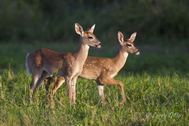 White-tailed_Deer_Larry_Ditto_MG_5355
