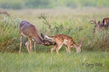 White-tailed Deer, doe cleaning fawn